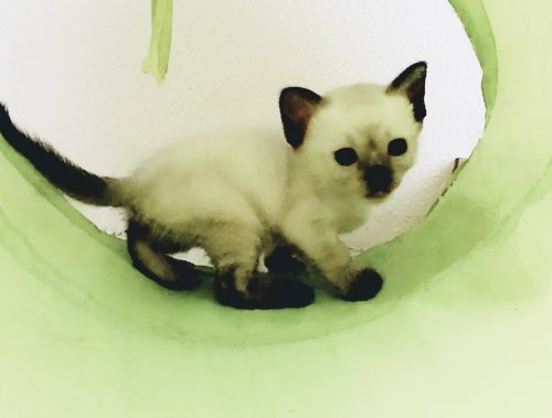 Home Page Country Loven Siamese